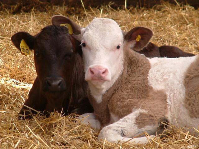 B&B Farmhouse calves
